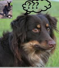 australian shepherd facts seven surprising facts about australian shepherds dog discoveries