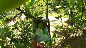 backyard fruit trees mums place youtube