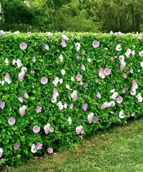 92 planting hybiscus images hibiscus