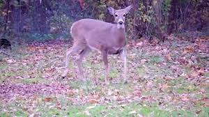 deer stomps and snorts my backyard youtube