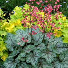 native plant finder native plant spotlight heuchera coral bells evergreen nursery
