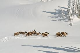 hunting moose in canada to save caribou from wolves the new york