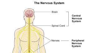 nervous system quiz proprofs quiz