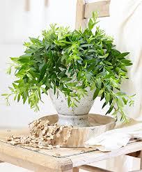 buy house plants now lipstick hanging plant u0027japhrolepis u0027 bakker com