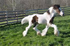 lions for sale lion luck s lulu westmoreland vanner horses for sale