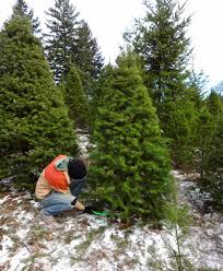 christmas tree farm archives lil bit