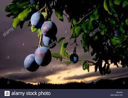 sept 13 2011 oakland california u s italian prune plums