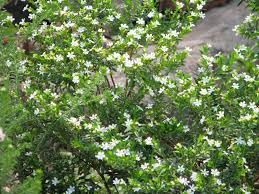 Shrub Small White Flowers - bush bernie u0027s blog friday flower flaunt spring has sprung