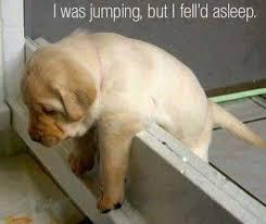 Sleepy Memes - sleepy dog dog funny funny animal jump sleep sleeping love