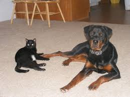 belgian shepherd vs rottweiler dog breeds that do not get along with cats pethelpful