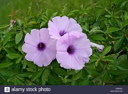 Morning Glory Climbing Plant - morning glory flower a very common climbing shrub found in se