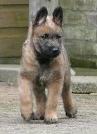 belgian sheepdog kennels pinterest u2022 the world u0027s catalog of ideas