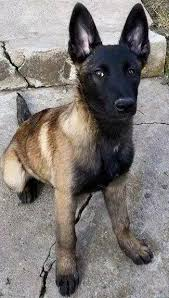 belgian shepherd dog temperament best 10 belgian malinois ideas on pinterest belgian malinois