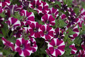 12 Best Annual Flowers For by 12 Annual Flowers That Can Take The Cold Costa Farms
