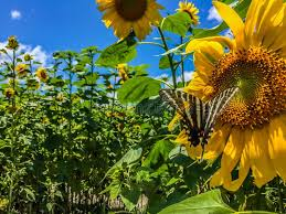 butterfly in a sunflower field on a clear blue sky stock photo