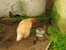 Ewe K Hen Wyndson Farm Happy Hens