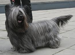 affenpinscher loyalty the 12 most loyal dog breeds u2013 iheartdogs com