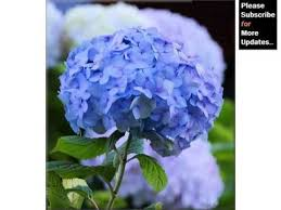 blue carnations blue carnation flower compilation of marvelous carnation flowers