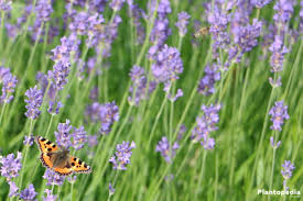 Most Fragrant Lavender Plants Lavender Lavandula Angustifolia How To Grow And Care Plantopedia