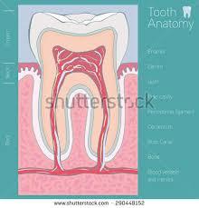 Human Anatomy Words Tooth Medical Anatomy Words Stock Vector 290448152 Shutterstock