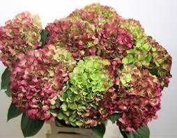 wholesale hydrangeas hydrangea green antique metropolitan wholesale