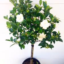 gardenia standards large 300mm pots budget wholesale nursery sydney