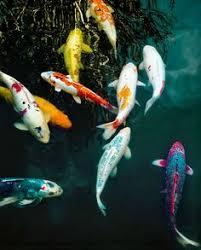 koi pond fishing fury water features koi fish
