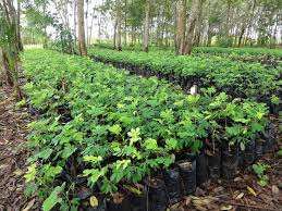 tree nursery in devego in the volta region more