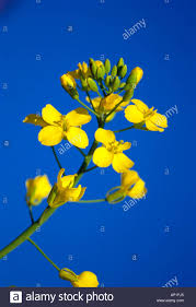 blue seed agriculture closeup of a canola seed flower in mid bloom