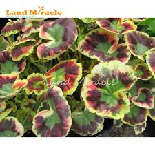 Indoor Balcony by Aliexpress Com Buy Land Miracle Rare Japanese Geranium Seeds 5