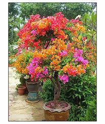 Flower Seeds Online - futaba bougainvillea willd seeds flower seeds buy futaba
