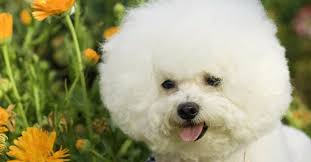 bichon frise and cats did you know these 10 hypoallergenic dog breeds the animal