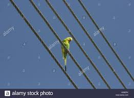 parrot wire stock photos u0026 parrot wire stock images alamy