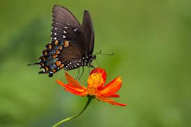 flowers on the black butterfly 52796 children u0027s album figure