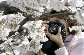 cherry blossoms images history of the cherry blossom festival wtop