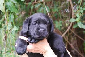 labrador retriever puppy dry dog food royal canin breed health