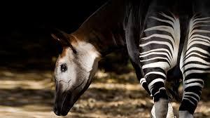 okapi san diego zoo animals u0026 plants