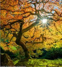 photo of japanese maple tree japanese gardens wendy seagren