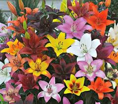 asiatic lilies bold colors asiatic mix white flower farm