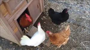 backyard chickens in the garden youtube