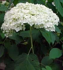 White Hydrangeas Hydrangea Identification