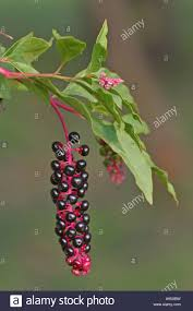 native american plants phytolacca americana pokeweed perennial plants native to north