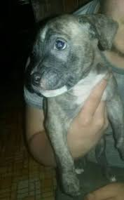 american pitbull terrier jaw 7 week old nipping pitbulls go pitbull dog forums