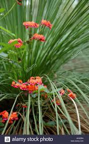 native plants perth native australian flora coral vine kennedia coccinea growing over