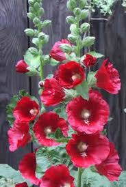 hollyhock flowers 50 mixed colors hollyhock country mix alcea