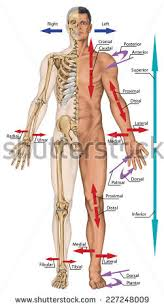 Directional Terms Human Anatomy General Terms Location Direction Cardinal Planes Stock