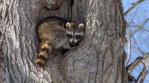 raccoon tree ngsversion 1396530746603 jpg