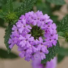 Verbena Flower Verbena Plant Varieties And Gardening Tips Southern Living