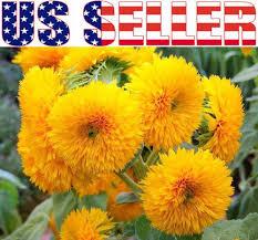 the 25 best dwarf sunflowers ideas on pinterest unique flowers