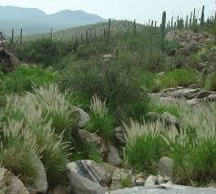 native plants in hawaii fountain grass saguaro national park u s national park service